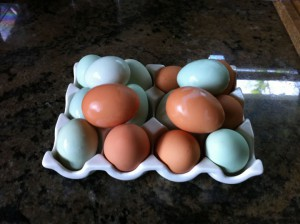 Blue and green ameraucana chicken eggs