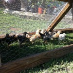 The new chicks exploring the chicken tractor