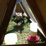 Peeking inside the chicken tractor from the trap door