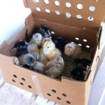 New chicks arrived in the mail