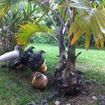 Chickens Under the Palm