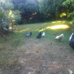 Chickens in Back Yard