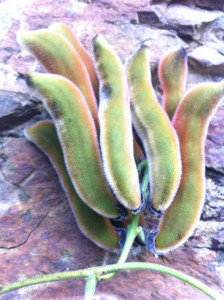 7 Pica Pica Pods on a Rock