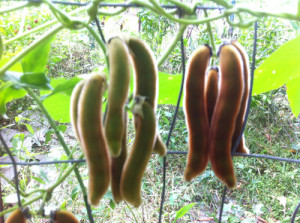 Pica Pica Pods Brown and Green