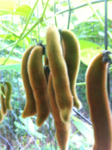 Dry Mucuna Pods of Puerto Rico